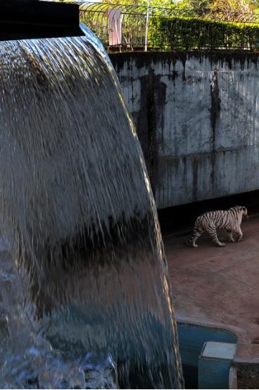 Sistema de tratamento e reúso de água em fase de implantação. Já foram implantadas três estações de tratamento e reúso de água nos recintos do tigre de bengala, onça parda, ariranhas e em fase de implantação no recinto do urso de óculos, e posteriormente em mais oito recintos de grandes animais. Em fase de elaboração o projeto executivo para tratamento e reúso de águas dos lagos, com previsão de conclusão para o 1º semestre/2019.