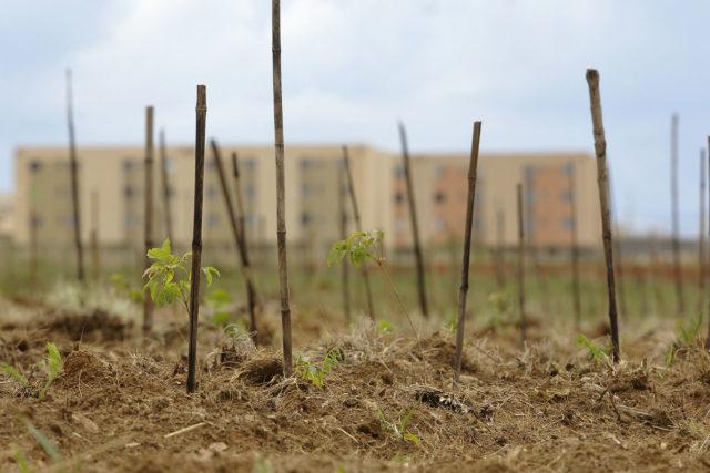 Realizado, em 2017, o plantio de 5.550 mudas no Parque Ecológico Riacho fundo II decorrente de compensação  florestal.